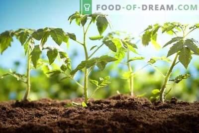 Planting tomato seedlings correctly